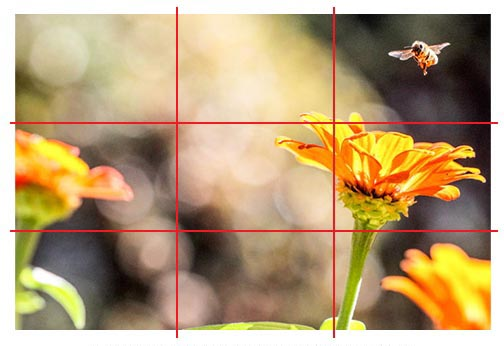 Photo of bumblebee landing on a yellow flower with rule of thirds applied to squares.